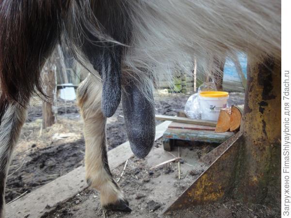 Два соска у козы Мишель. Один большой, и козлятам не высосать из него молоко
