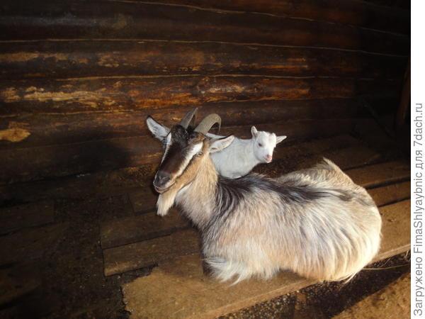 Коза Флакон с козленком