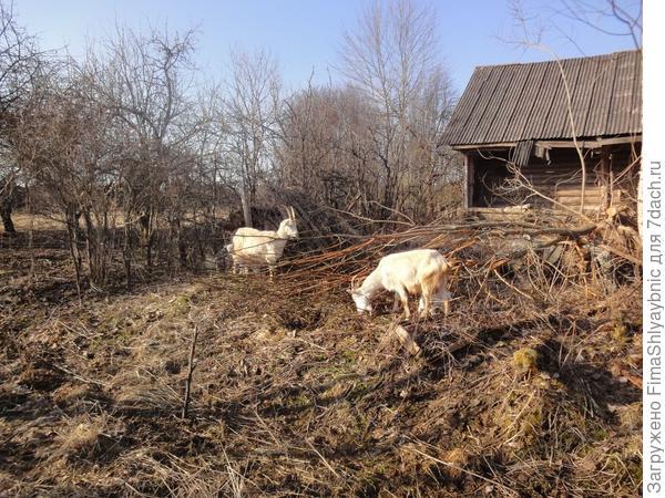 Козы Рогастая и Нытик с козлятами