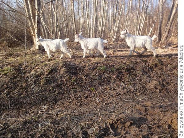 Весна и козлята