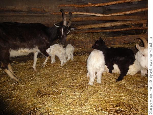 Мишель с козлятами (слева) и Зая с козлятами (справа)