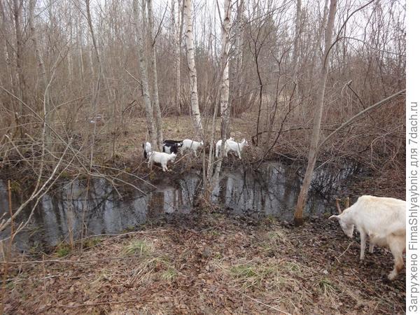 Козлята возле ручья