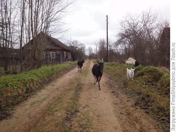 Барак (ближе) с козлятами и Мишель