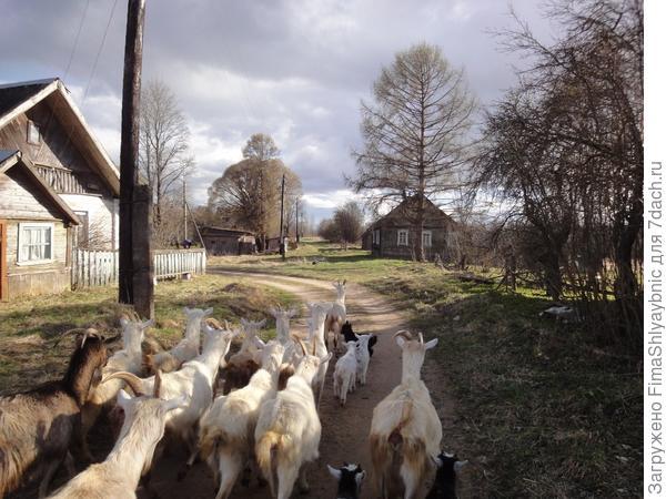 Козы утром идут на пастбище