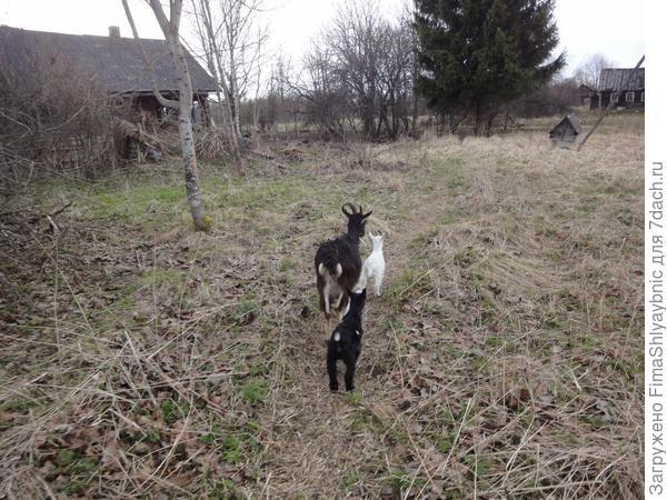 Барак с козлятами сама идет вечером в Люкс