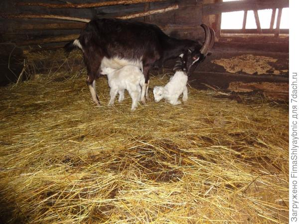 Мишель в хлеве с двухнедельными козлятами