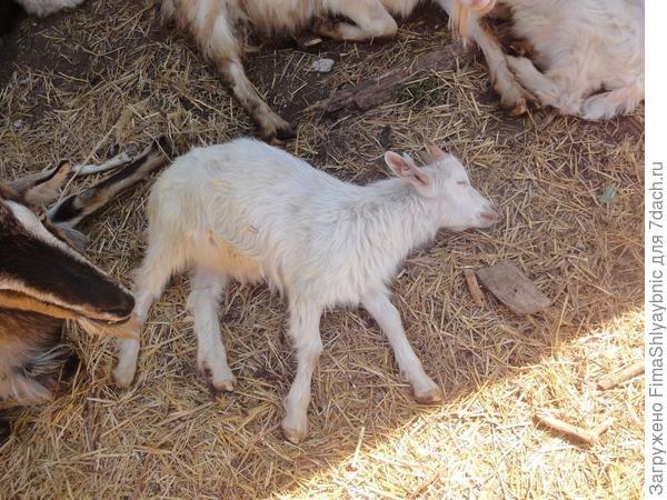 Спящий козленок. Он спит и на верхнем фото, можно его там найти
