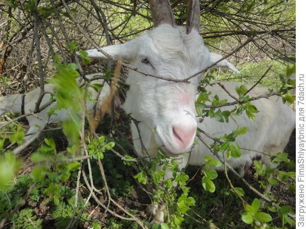 Весна, коза, листья и трава