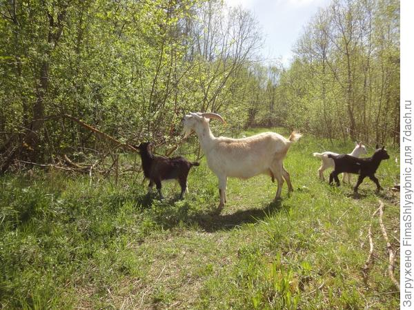 Коза Хлорка и козлята