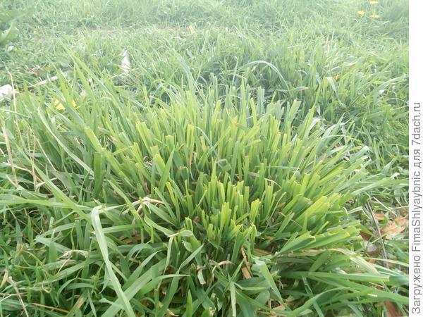 Трава после козы Дашки