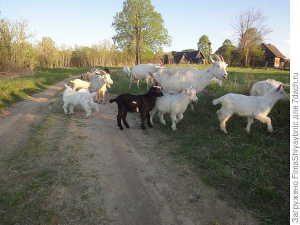 Май - рай для коз, нет дождя и есть молодая трава