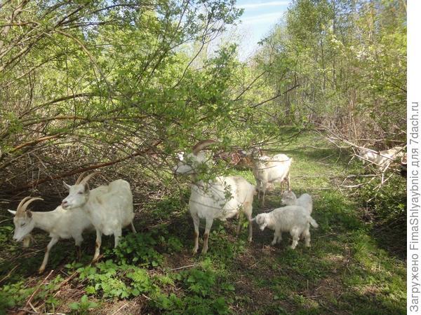 Кустарникам козы уделяют самое повышенное внимание