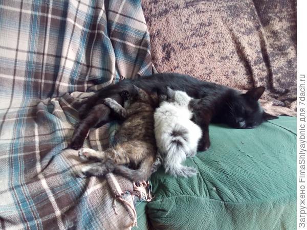 Багира кормит своего котенка и котенка Серой