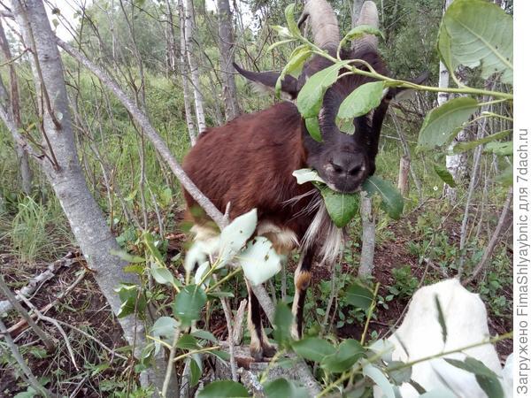 Коза ест ракиту