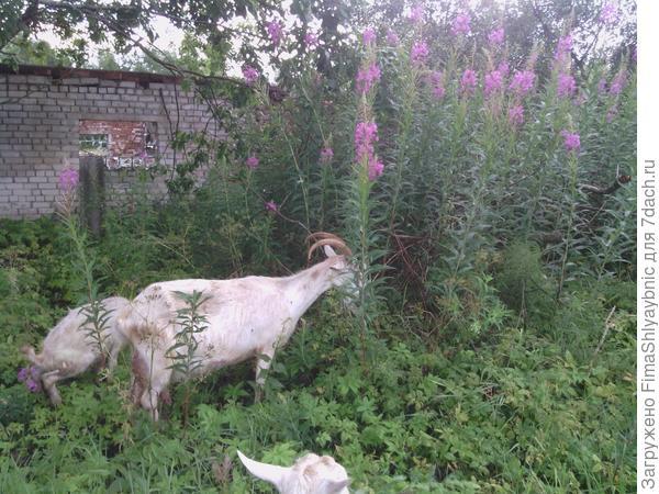 Коза с козленком и заросли иван-чая