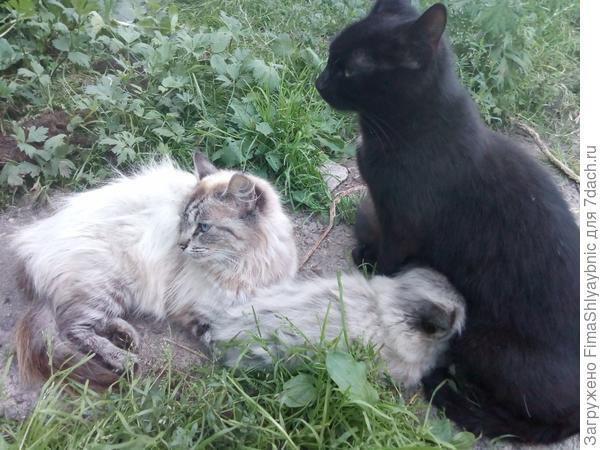 Кошки Серая и Багира с котенком
