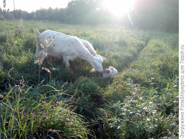 Любопытные козочки и кошка Серая