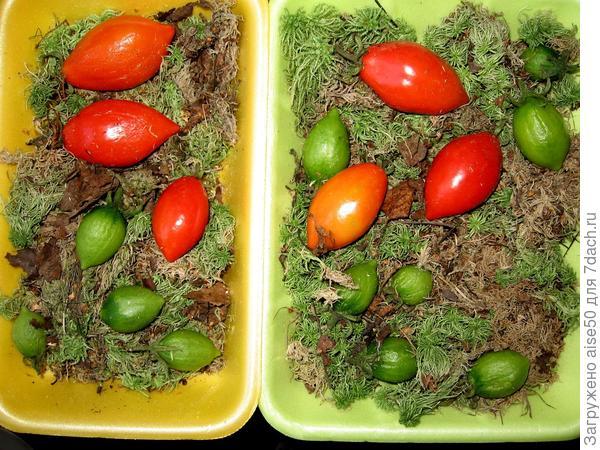 07.09.19 фитофтороза  в парнике с томатом Грушка красная избежать так и не удалось. Болезнь перекинулась с листьев на плоды, поэтому пришлось эк