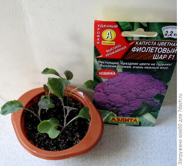 рассада капусты цветной Фиолетовый шар