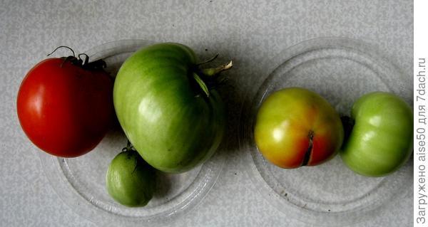 23.09.20 быстрое дозаривание томатов Толстопуз (слева) и Шейх F1 (справа)