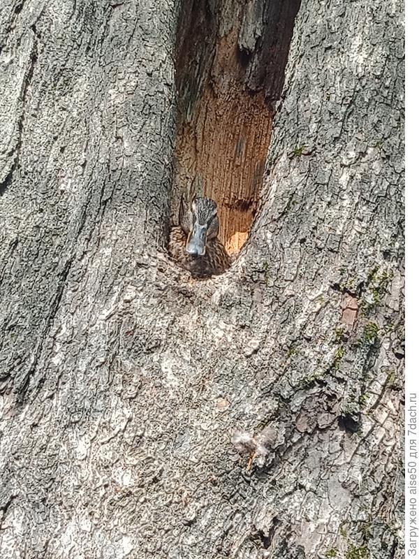 Как спасти уточку, живущую в парке в дупле дерева, от непрошенной славы: кучи фотографов и мальчишек с камнями?