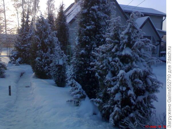 Зима на даче. Мороз на даче такой, что даже хвойники поникли