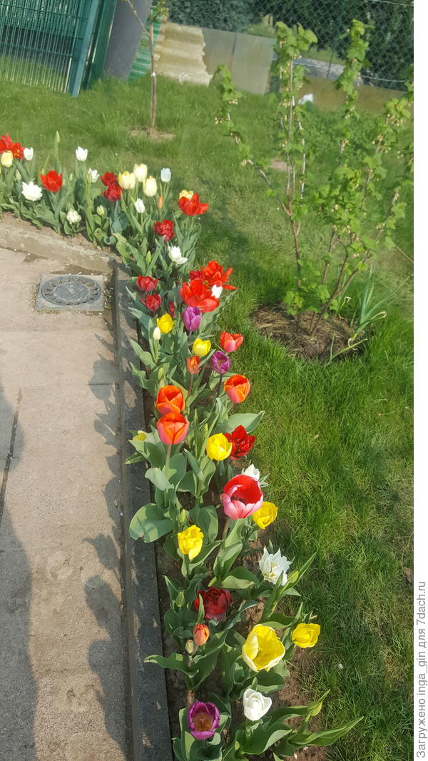 Тюльпаны в моем саду.