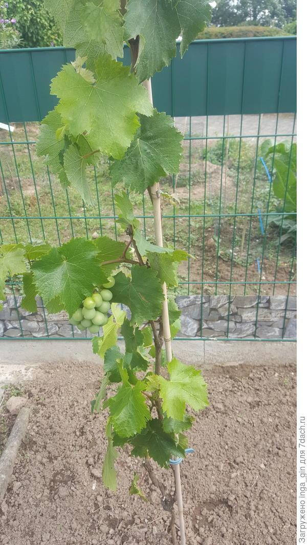 Виноград зреет.