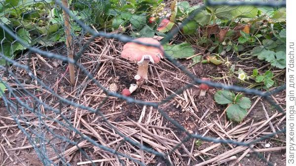 Слизни грибами тоже не брезговали.Поставили сетчате ограждение, но было уже поздно.