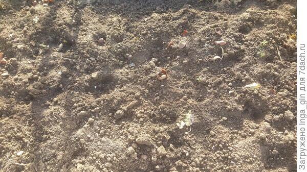 Ямки на месте луковиц тюлпанов.