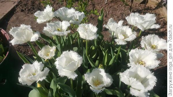 Это у меня  самые ранние расцвевшие  в апреле тюльпаны.