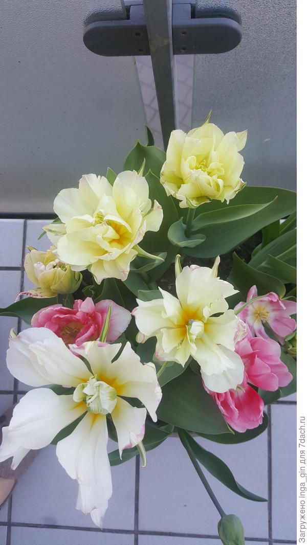 Тюльпаны на лоджии 3.