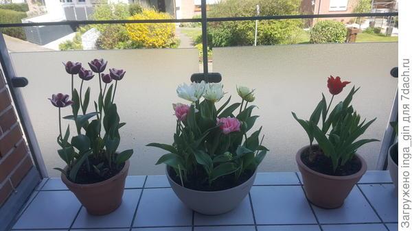 Тюльпаны на лоджии.