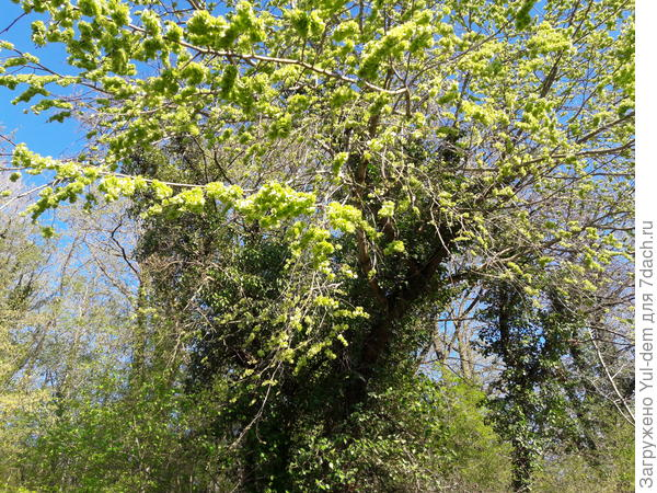 пожалуйста помогите определить дерево -вот оно цветет ранней весной