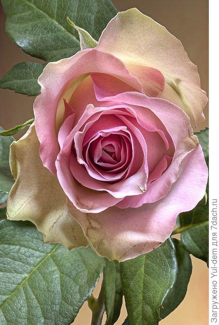 На фото роза, которую надо опознать, помогите, если известно....