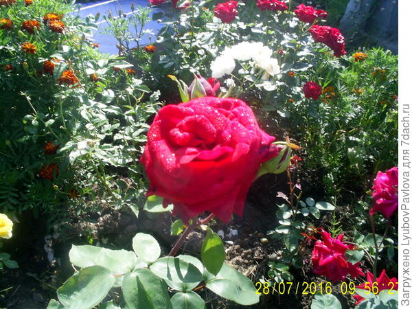 роза с капельками росы