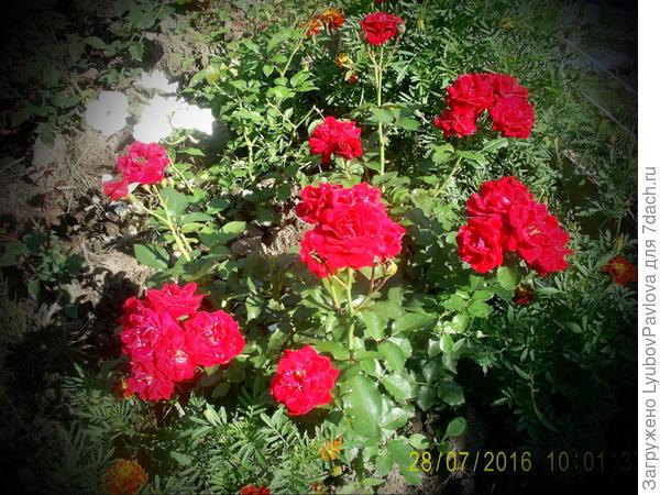 Роза Май Плежа