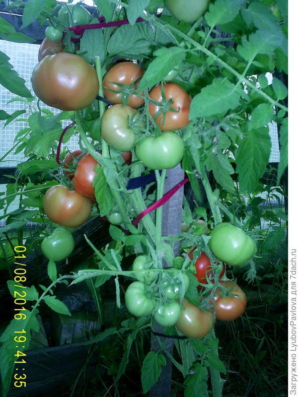 название томата не знаю
