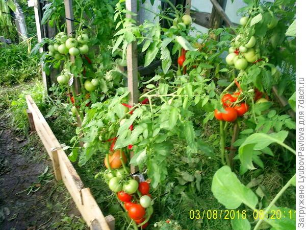общий вид в теплице с томатами