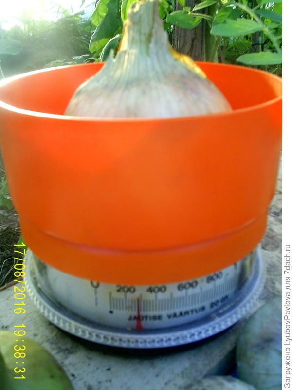 вес 1 луковицы