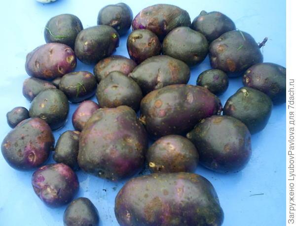 картофель фиолетовый