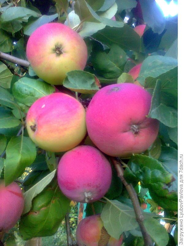 Яблоки Мелба