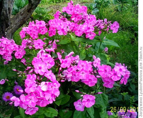 Флоксы пышно цветут в октябре месяце
