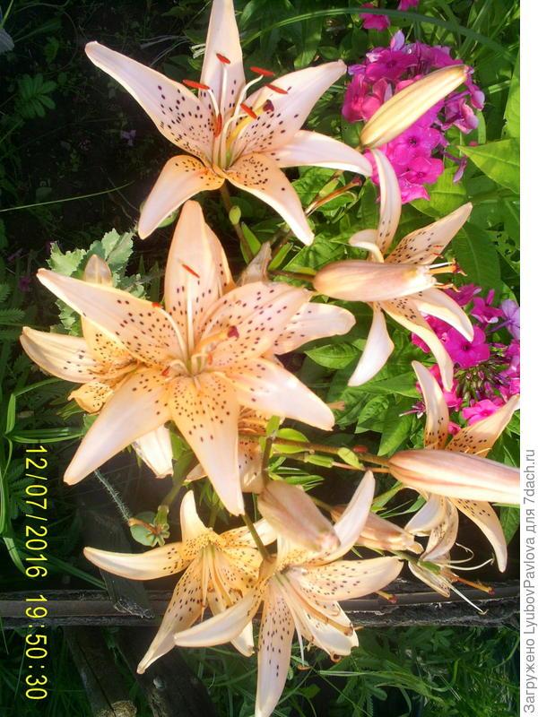 Эта лилия отсажена (отрубанием корня) весной от лилии на втором фото. Почему цветы стали разного цвета?