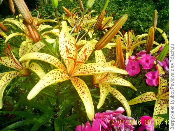 Почему цветы стали разного цвета? На 1 и 2 фото цветы из одного куста!