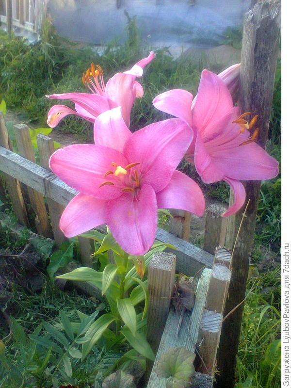 Эта лилия от корня жёлтой лилии, показанной выше. Лилии так легко меняют цвет, в зависимости от места посадки и от того что растёт рядом?