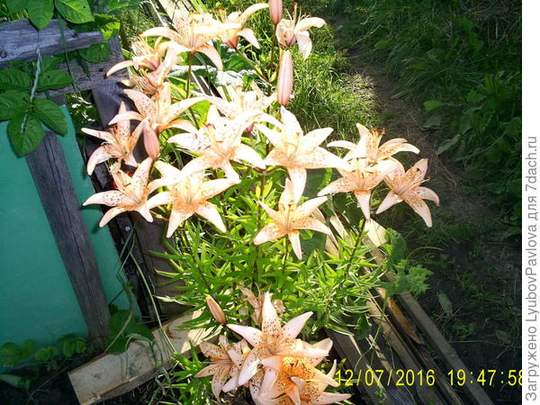 Это лилия с розовыми лепестками, посажена возле ящика, для компоста. Можно сказать, в неудобице.