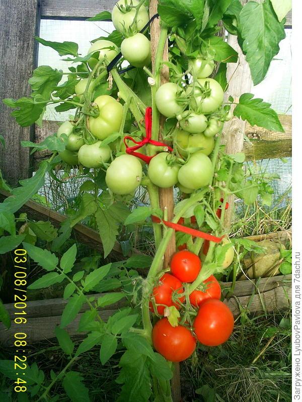 Самые урожайные сорта помидор для урала  Вырасти сад!