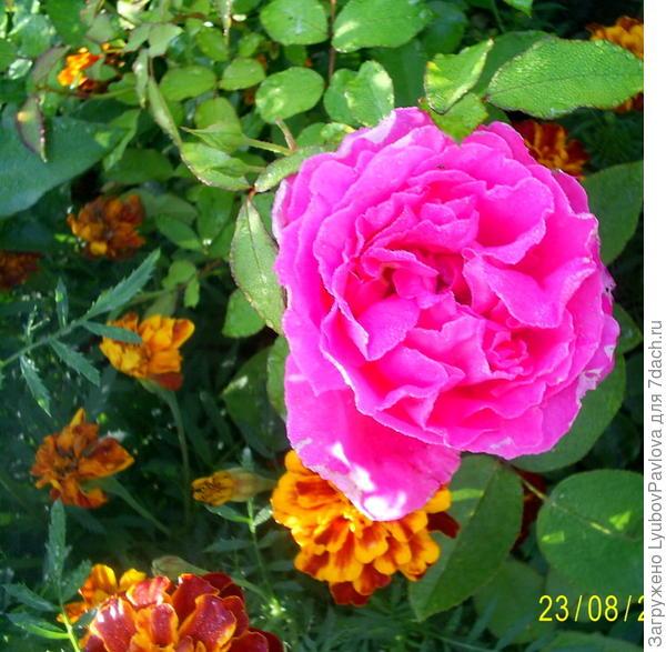 Вторая розочка, про которую говорю, что цветок, как у розы флорибунда. Очень жаль, что на фото не отразилась вся красота цветка. Он тоже на солнце весь светился изнутри, очень красиво!