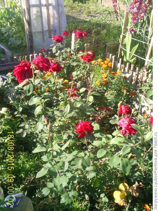 Это старинные чайно-гибридные розы с лёгким ароматом. Выращиваю их у себя на огороде примерно с 1980 года.